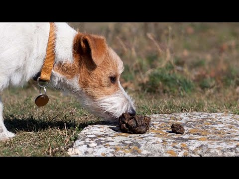 How to stop puppy from eating poop