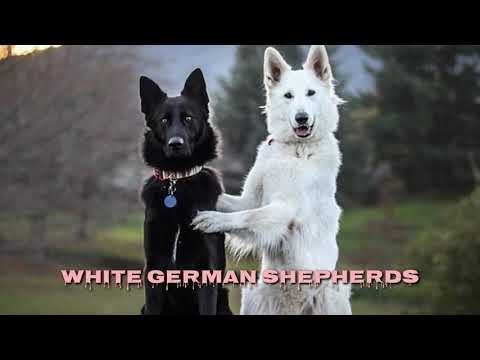 Rare: white german shepherd puppies for sale in india from boskys kennel. black gsd also available.