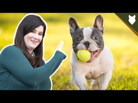 How much exercise does a french bulldog need?