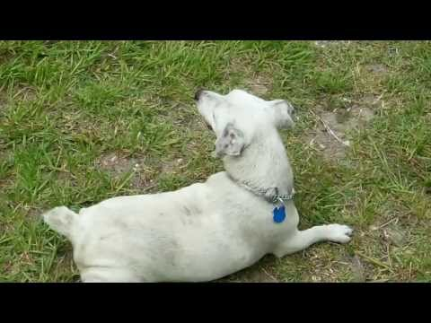 Funny dog rubbing belly on the ground