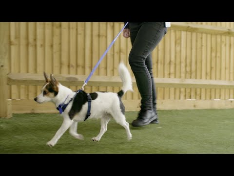 How to stop your dog pulling on the lead   the battersea way