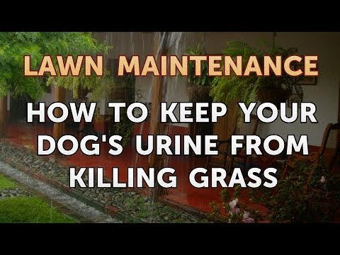 How to keep your dog's urine from killing grass