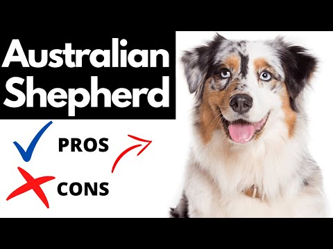 Australian shepherd pros and cons | the good and the bad!!