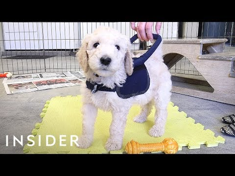 How puppies train to be guide dogs