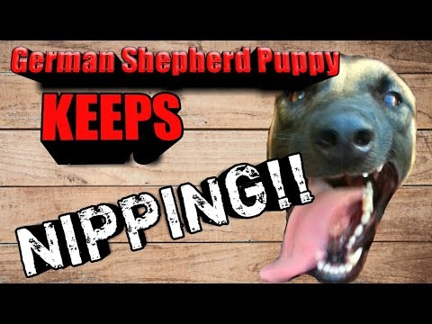 Q&a with kd - how to stop german shepherd puppy from nipping when putting harness on