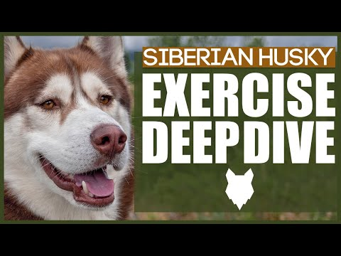 How much exercise does a siberian husky need?