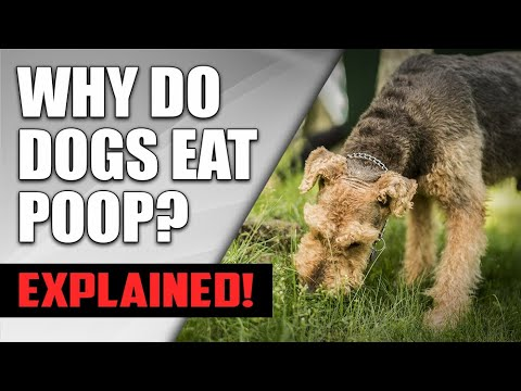 Why do dogs eat poop? (how to stop it) | understanding dog coprophagia