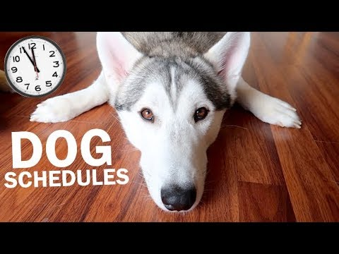How much you should be feeding, walking, and cleaning your siberian husky!