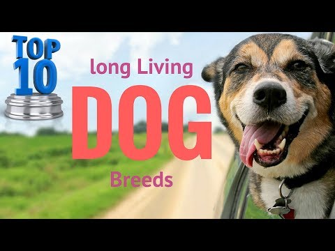 Top 12 long living dog breeds in the world   khan production