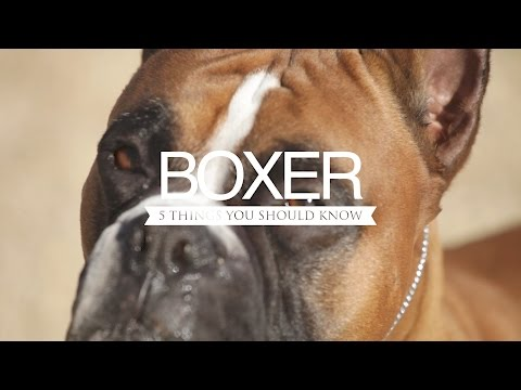 Boxer five things you should know