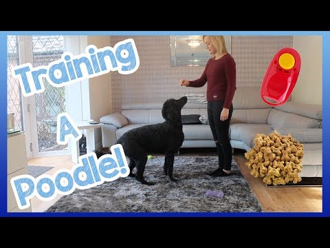 How to train a poodle (or any other dog breed!)   helpful top tips on how to easily train your dog!