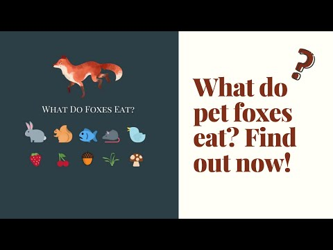 Want to know what foxes eat? pet fox diet