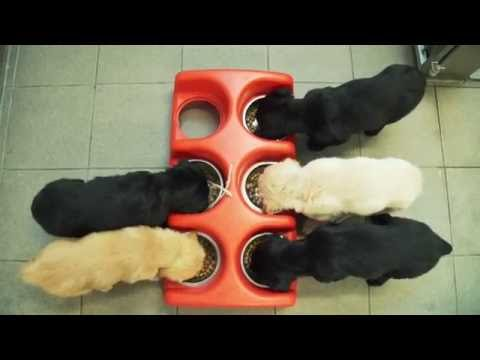 Guide dog puppy training