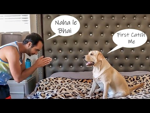 My labrador puppy makes a scene when asked to bath   my dog doesn't like baths   funny dog video