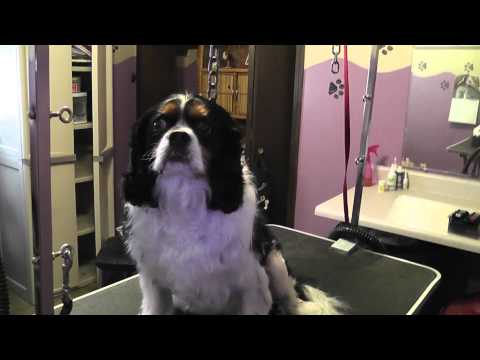 Cavalier king charles 2 months after shave down!