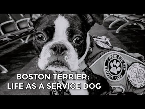 Do boston terriers make good service dogs?