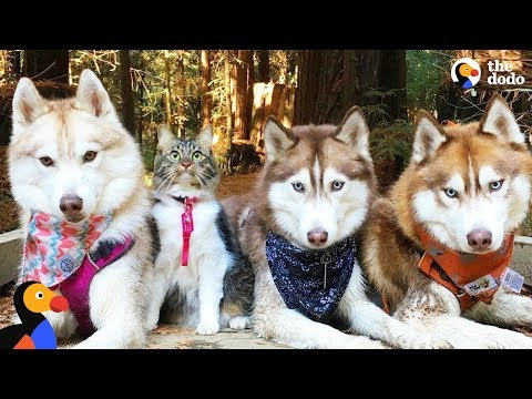 Cat leads her pack of husky dogs   the dodo