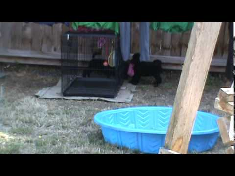 Case of the missing pink sock - poodle puppies investigate