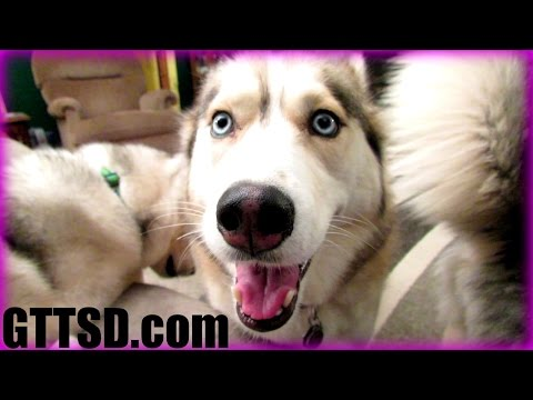 Are huskies good guard dogs?   fan friday 179