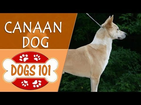 Dogs 101 - canaan - top dog facts about the canaan