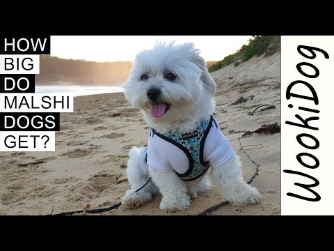 How big do malshi dogs get? (what does a malshi dog look like?) maltese shih tzu mix dogs 101