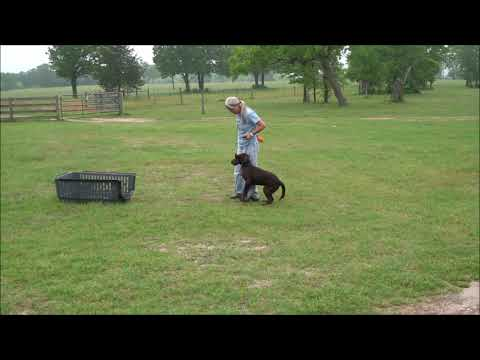 Watermarks bomber five month old started labrador puppy training