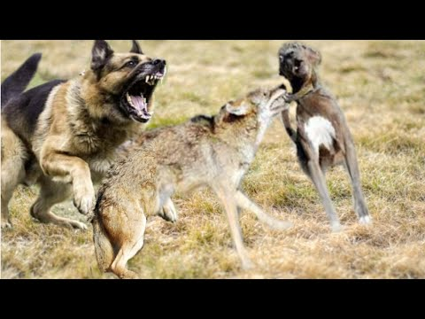 German shepherd saves its friend from a coyote!!!