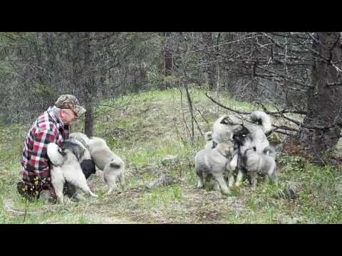 Norwegian elkhound males and pups off leash training