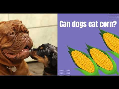Can dogs eat corn? is corn safe for dogs? benefits - side effects and serving ideas