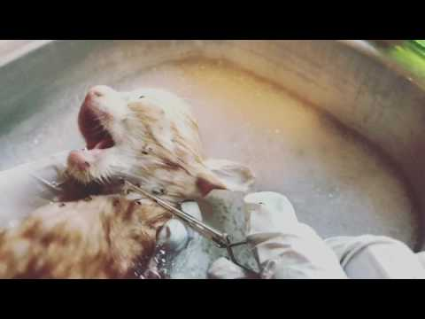 Kitten screams while being eaten alive by fleas as rescuers help her