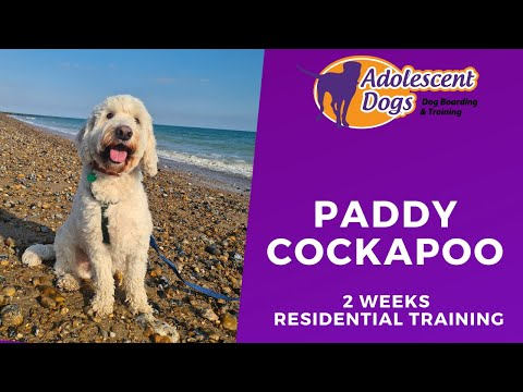 Paddy the cockapoo - 2 weeks residential dog training