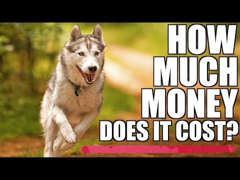 How much do siberian huskies cost over time? - the price to pay for a husky!