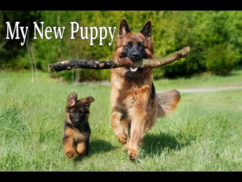 How to take the best care of your #germanshepherd puppy