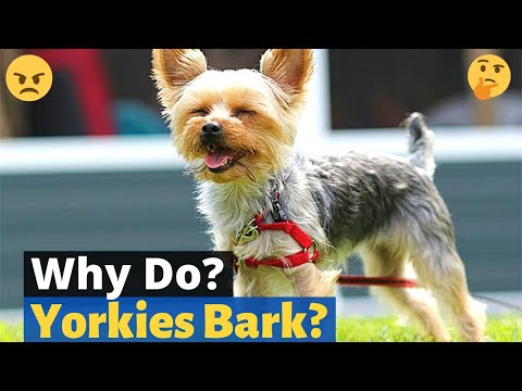 Why does my yorkie bark and how to stop excessive barking?