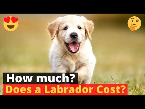 How much does a labrador puppy cost? 🤔🐶