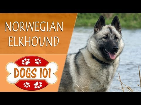Dogs 101 - norwegian elkhound - top dog facts about the norwegian elkhound