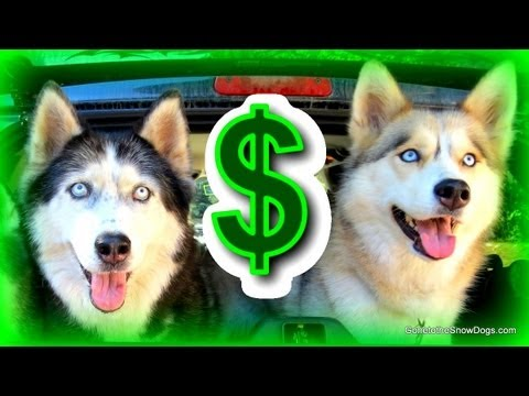 The cost of owning a dog - how much does it cost to own a siberian husky?