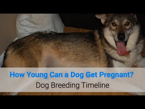How young can a dog get pregnant? dog breeding timeline