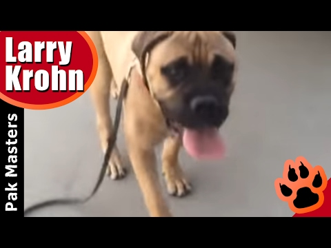 First e-collar session with 6 month old bullmastiff puppy training