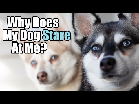 Why does my dog stare at me | five reasons | experts