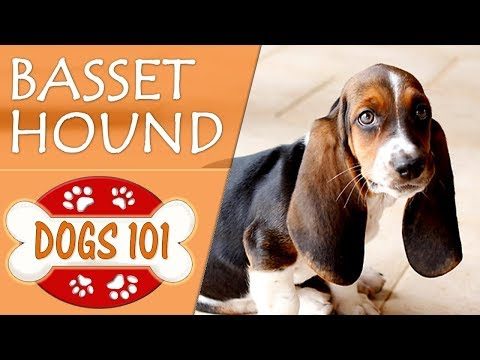Dogs 101 - basset hound - top dog facts about the basset hound