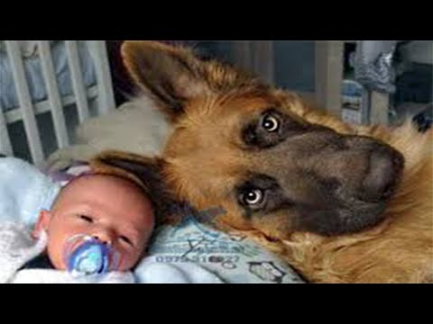 Why german shepherd are the best #1