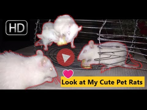 Meet my pet rats / cute rats fighting for cheese / 2 cute rats