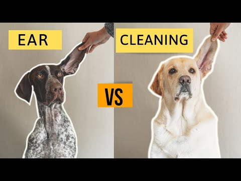 How to clean your dog's ears at home | german shorthaired pointer & labrador retriever
