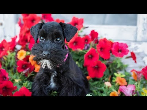 Miniature schnauzer puppies are so cute!! check out poppy!!