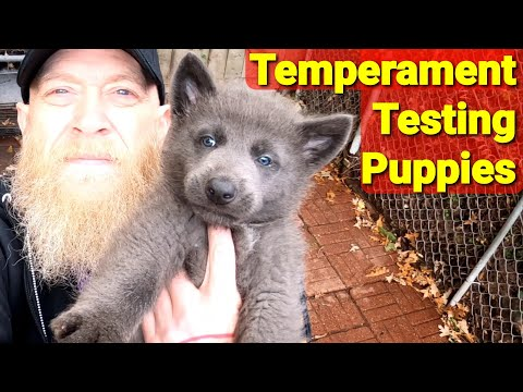 Temperament testing 6 week old puppies - how i do it - lycan shepherd project