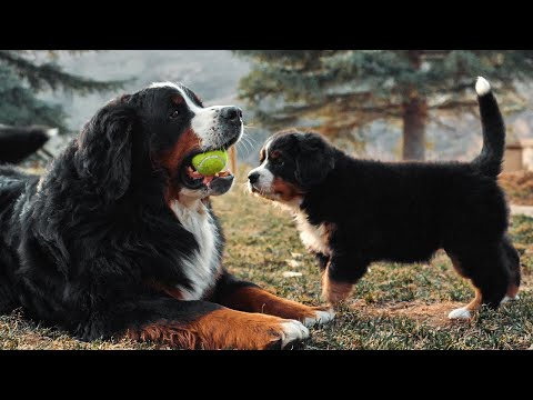 Week 6 pupdate! life with 14 bernese mountain dogs! ep. 7