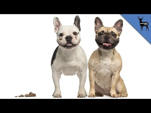 Why do dogs eat their poop?