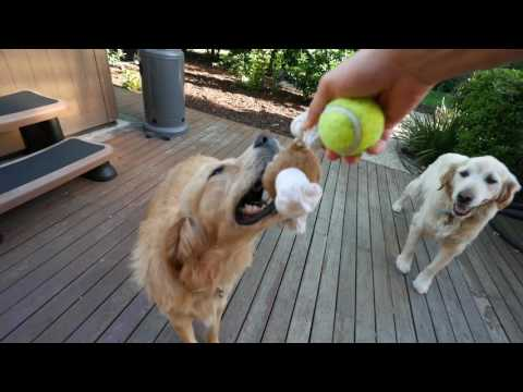 Do golden retrievers shed a lot of hair?   ollie & toby are back vlog#38