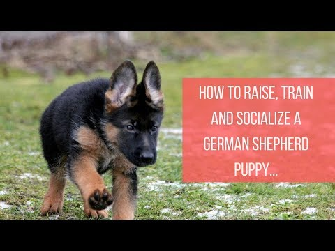 How to raise, train and socialize a german shepherd puppy